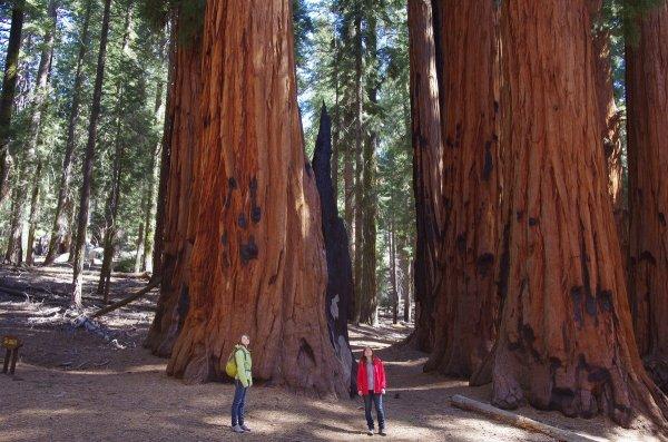 Seqoia trees in California