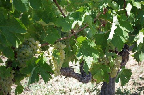 Wein an 60 Jahre alten Reben